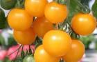 Сорт томата: Ясик f1