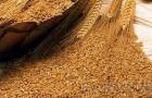 Сорт ячменя ярового: Беркут