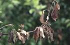 Болезнь декоративных кустарников — бактериальный ожог (бактериальная гниль побегов, влажный ожог)
