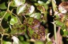 Болезнь декоративных кустарников — бурая пятнистость (филлостиктоз)