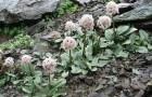 Болезнь корневищных — кольцевая мозаика листьев