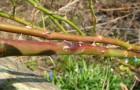 Болезнь роз — инфекционный ожог, или стеблевой рак, роз