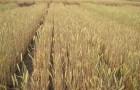 Сорт ячменя ярового: Буян