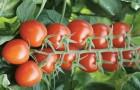 Сорт томата: Черриликопа f1