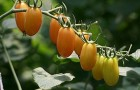 Сорт томата: Черрилиза f1