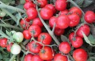Сорт томата: Черринано f1