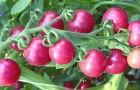 Сорт томата: Черрироза f1
