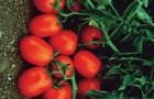 Сорт томата: Чибли f1