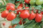 Сорт томата: Эрай f1