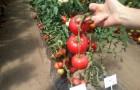 Сорт томата: Эсмира f1