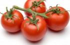 Сорт томата: Фантом f1