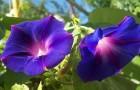 Фарбитис пурпурный