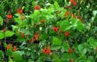 Фасоль огненно-красная, турецкие бобы