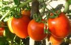 Сорт томата: Фазан