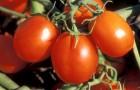 Сорт томата: Фиеста f1