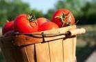 Сорт томата: Фифти 50 f1