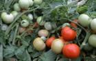 Сорт томата: Фигаро f1