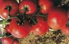 Сорт томата: Флексион f1