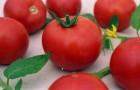 Сорт томата: Фонарик