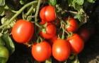 Сорт томата: Форсаж f1