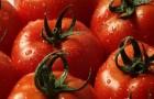 Сорт томата: Франт f1