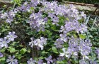Группа клематисов Патенс (крупноцветковые сорта и формы)