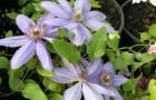 Группа клематисов Жакмана-Ланугиноза (крупноцветковые сорта и формы)