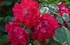 Группа роз Кордеса