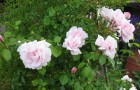 Группа роз Вихуриана (отечественной селекции)
