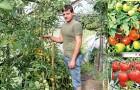 Сорт томата: Халай f1