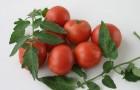 Сорт томата: Харнащь