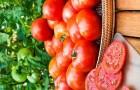 Сорт томата: Хайнз 9775 f1