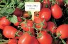 Сорт томата: Херсонес f1