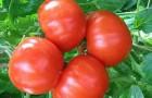 Сорт томата: Хлыновский f1
