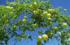 Кардиоспермум халикакаб, сердцевидное семя