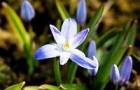 Мелколуковичные первоцветы