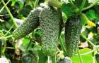 Огурцы: выбор семян и сорта (Видео)
