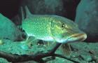 Особенности кормления рыб