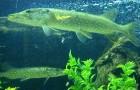 Паразитарные болезни рыб