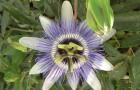 Пассифлора голубая, стратоцвет