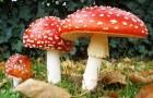 Первая помощь при отравлении грибами