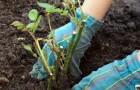 Подготовка почвы для высаживания черенков лиан