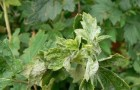 Профилактика появления мучнистой росы как 1-й этап борьбы с вредителями цветущих растений