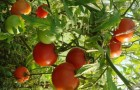 Сорт томата: Ралли f1