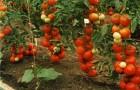 Сорт томата: Рамзай f1