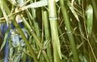Растения для японского сада: бамбук листоколосник