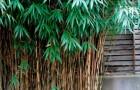 Растения для японского сада: бамбук псевдосаза