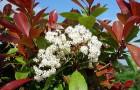 Растения для японского сада: фотиния шершавая