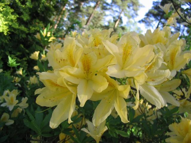 Растения для японского сада: рододендрон мягкий