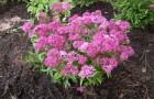 Растения для японского сада шаровидной формы